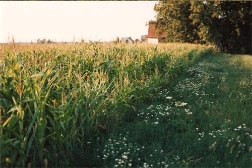 Via Claudia im Maisfeld beim Neuhaus